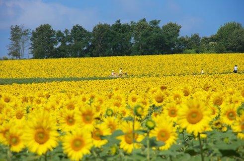 地平線まで広がる黄色い絨毯。絶景すぎる北海道の150万本のひまわり畑
