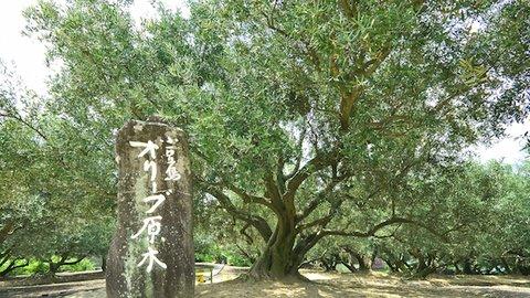 100年生きる、日本最古の原木。葉まで味わい尽くす小豆島のオリーブ