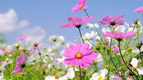 長野で見つけた秋の散歩道。コスモス街道と100万本の花畑が見頃