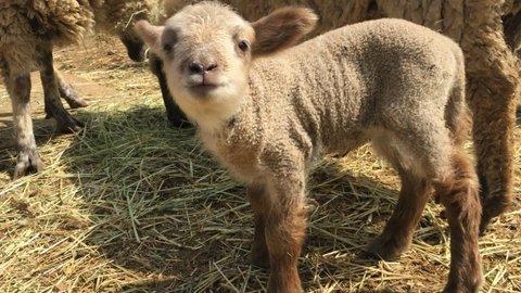 トテトテ歩く羊の赤ちゃん。茨城県「こもれび森のイバライド」で公開