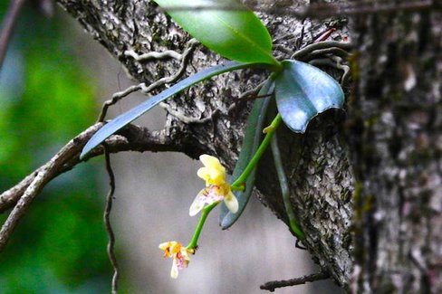 """隠岐諸島にだけ咲く""""幻の花""""。野生のナゴランを求めて里山散策"""