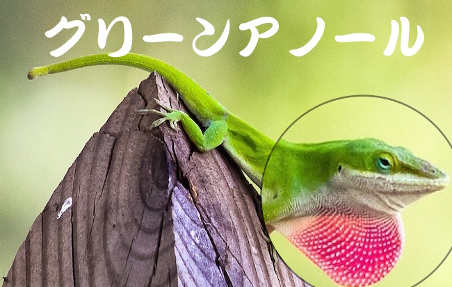 green-anole のコピー
