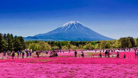 外国人が選ぶ「日本の美しい風景」にも。富士山麓がピンクに染まる芝桜まつり