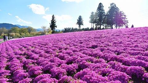 あの日見た花の名前は…埼玉・羊山公園の「芝桜」ですが、いま見頃です