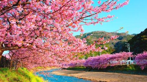 早春の彩りを探しに。2019年「河津桜まつり」2/10スタート