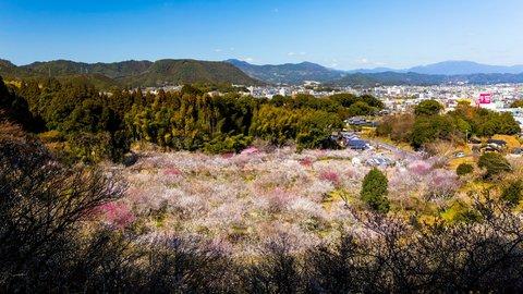 「一目1万本」ともいわれる、梅の絶景。佐賀「観梅まつり」