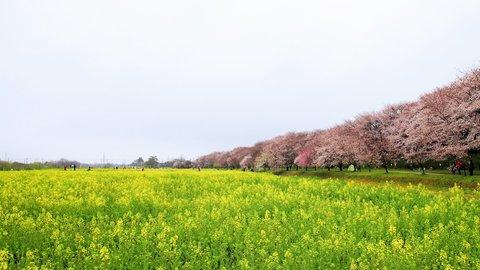 桜と菜の花コラボ。春色満ちあふれる埼玉県の穴場お花見スポット