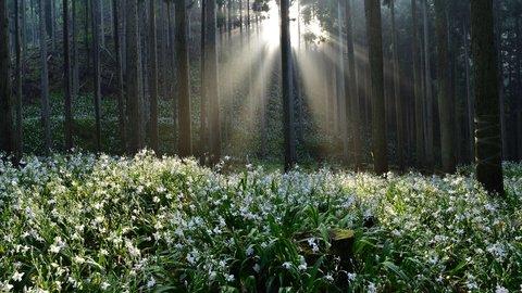 森を埋め尽くす純白の花が魅せる奇跡の絶景!綾部のシャガ群生地