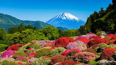富士山に芦ノ湖、艶やかなツツジ…希少種も咲く「小田急山のホテル」