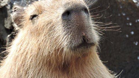 癒しのもふもふ。カピバラ露天風呂発祥の地「伊豆シャボテン動物公園」