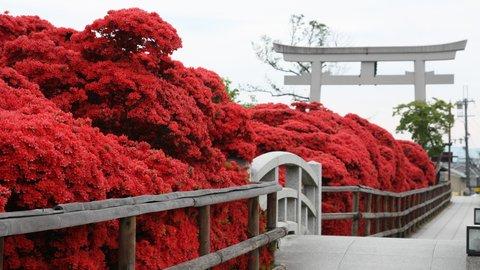 京都随一のキリシマツツジ。燃え上がるような深紅に染まる長岡天満宮へ