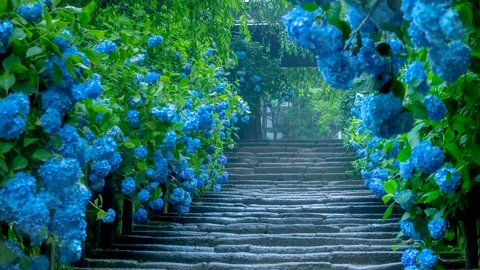 梅雨を楽しむ。東京近郊の「紫陽花(アジサイ)」名所9選