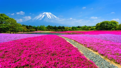 富士山麓を、ピンク色に染め上げる。山梨「富士芝桜まつり」【2019】