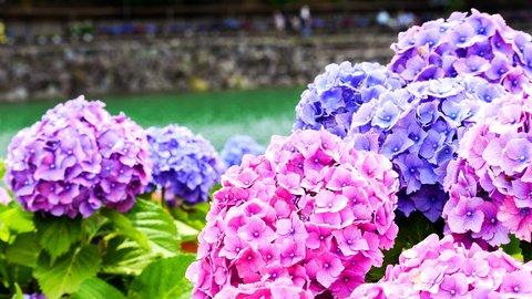 梅雨時の絶景。日本各地の「紫陽花(アジサイ)名所」11選