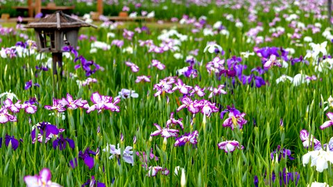 都心から日帰りで。梅雨を楽しむ、関東の「花菖蒲の名所」5選