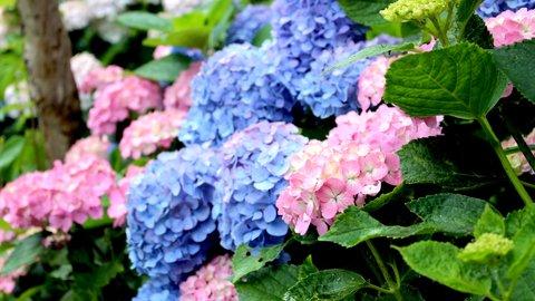 雨に色付く花の絶景。鎌倉エリアの「紫陽花(アジサイ)名所」6選