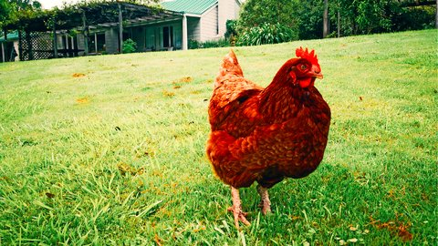 【漫画】ニュージーランドで「卵」が供給不足になりかけている話