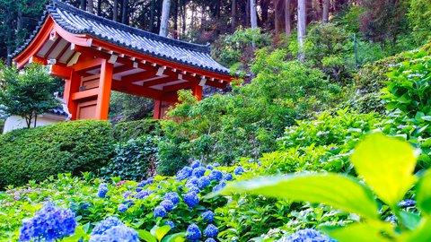梅雨の時期しか見られない、紫陽花が綺麗な名所・三室戸寺