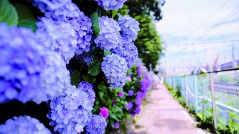 風情楽しむ雨の日を。東京都内「紫陽花(アジサイ)」名所&まつり10選