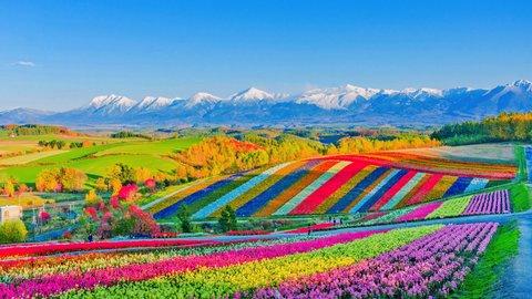 四季折々の花々。絶景広がる、北海道・美瑛「展望花畑 四季彩の丘」