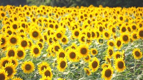 都内から日帰りも。夏を満喫する、関東エリアの絶景「ヒマワリ畑」9選