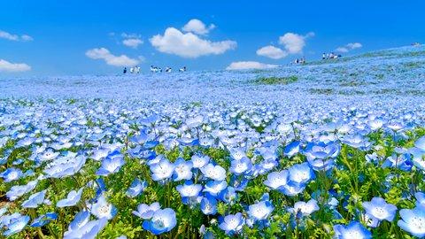 爽やかな潮風が吹き抜ける花の王国。茨城県「国営ひたち海浜公園」