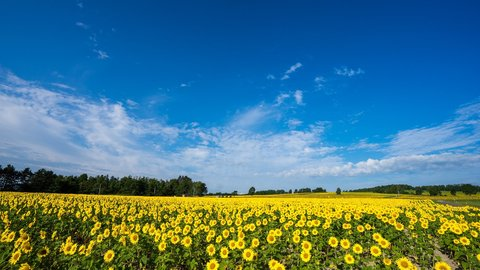 輝く黄色一面の夏の絶景。北海道・北竜町「ひまわりの里」
