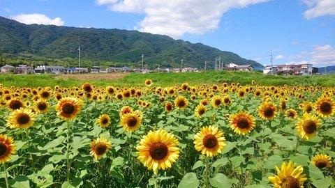ひまわり畑を京都で見たい!時期別おすすめ3選【2019年】