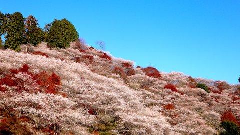 秋なのにサクラ咲く。日帰りで楽しめる愛知「紅葉スポット」めぐり