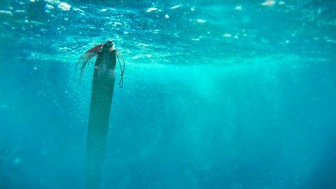 人魚のモデルになった深海魚。福井で2匹が目撃された「リュウグウノツカイ」