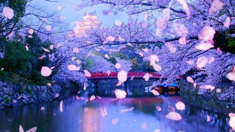 儚き美しさ。世界遺産と色あざやかな桜の絶景、兵庫県「姫路城」