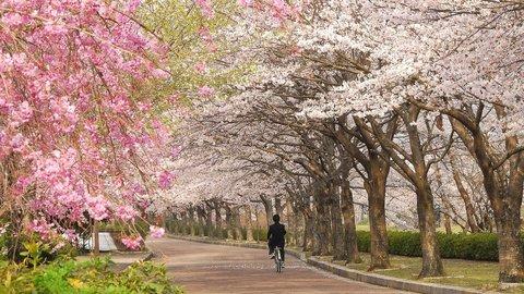 「もうひとつの京都」エリアで咲き誇る穴場の桜〜一本桜・大桜・絶景桜〜