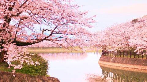 春のサイクリングにぴったり。九州の美しい「桜並木スポット」7選