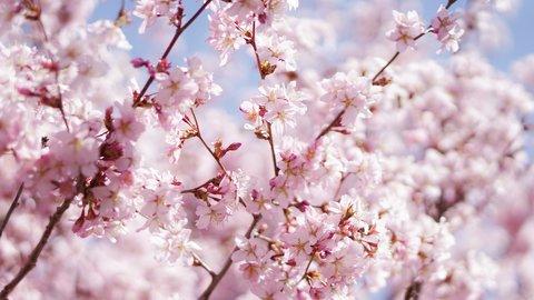 日本でよかった!温泉でお花見できる、絶景「桜風呂」ランキング