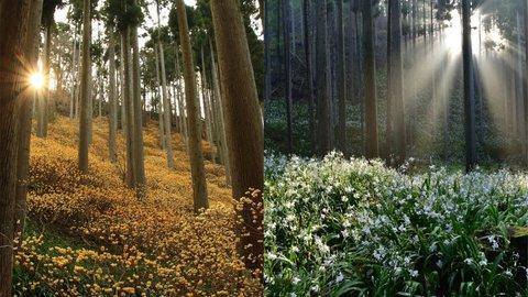 奇跡の絶景!森を埋め尽くす京都・綾部のミツマタとシャガの花園へ