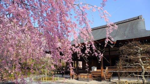 しだれ桜が守るものとは。京都の世界遺産「天龍寺」の隠れた歴史