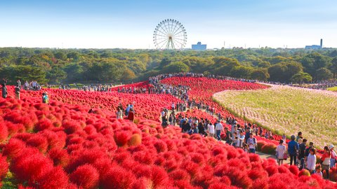ドライブにも最適。茨城県「国営ひたち海浜公園」に咲く絶景のコキア