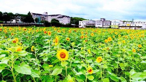 【2020年】京都のひまわり畑おすすめスポット〜夏限定の美しい景色〜