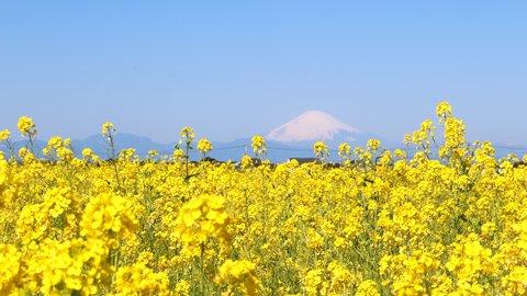 癒しの絶景。冬の花畑と富士山を望む、神奈川「菜の花まつり」開催中