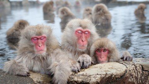 雪見温泉でいい気分。長野「地獄谷野猿公苑」へ、ほっこりお猿さんに会いに行こう