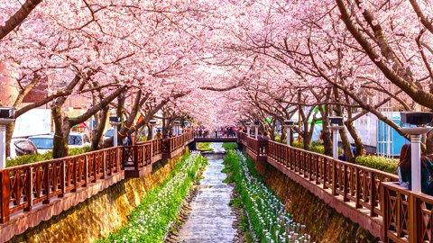 世界の春は美しい。ピンク色に咲き誇る海外「絶景の桜」名所8選