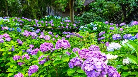 雨もしたたる初夏の絶景。紫陽花(アジサイ)の名所、鎌倉「浄智寺」