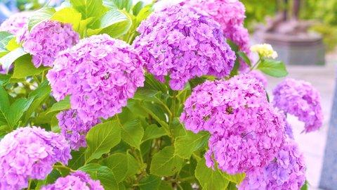 関東屈指の紫陽花(アジサイ)名所。カラフルな絶景が広がる鎌倉「長谷寺」