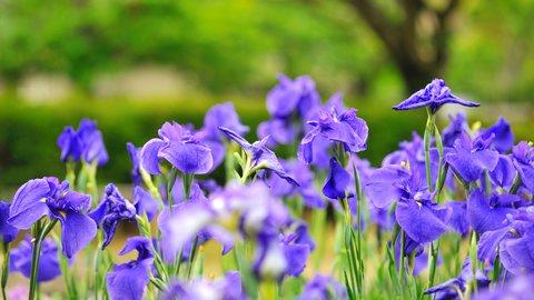 約400種150万本の花菖蒲が咲く「水郷佐原あやめ祭り」の楽しみ方