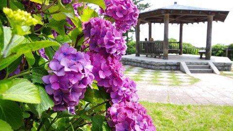 初夏を彩る梅雨の絶景。紫陽花(アジサイ)の名所「稲村ヶ崎公園」