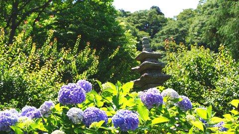 歴史あふれる鎌倉有数の花寺。紫陽花(アジサイ)の名所「光則寺」