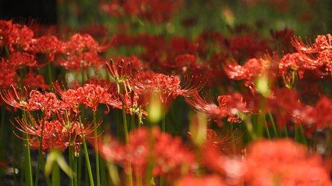 【2021年】秋の訪れを告げる紅蓮の花〜京都府の彼岸花スポット〜